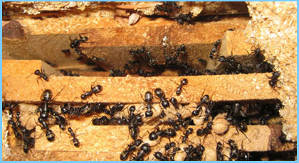 Ant Extermination Services