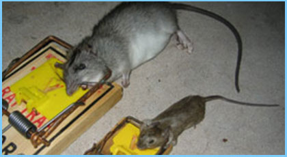 Mice & Rat Removal Services
