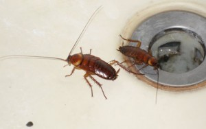 Got cockroaches in the House? Beware of these 5 Health Risks Associated With Them