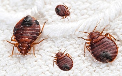 5-popular-bed-bug-misconceptions