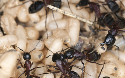 3 Harmful Threats An Ant Infestation Can Cause