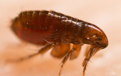 Flea Infestation? A Complete Guide For Pest Extermination