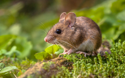 Top Reasons To Avoid Do-It-Yourself Mice Control